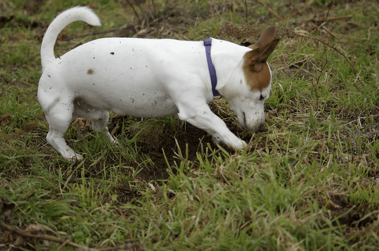 chien qui enterre sa nourriture