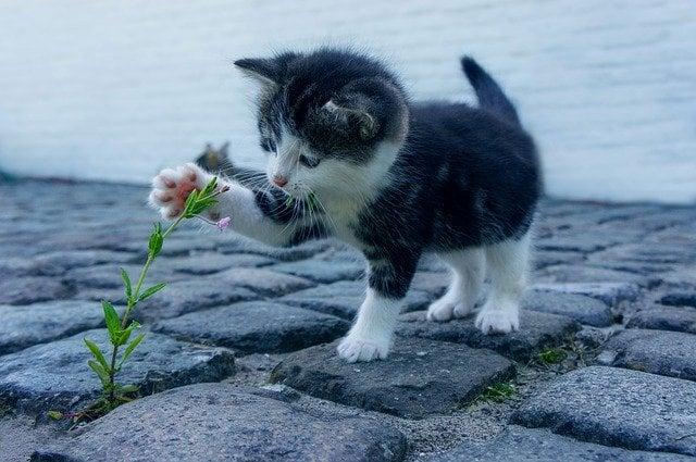chaton-fleur