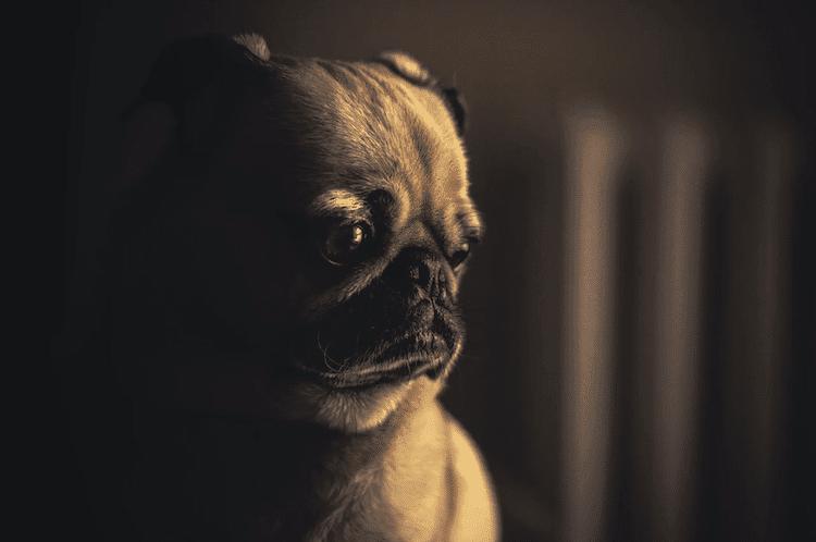 chien ennuie