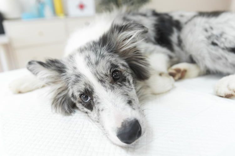 consultation ostéopathie canine